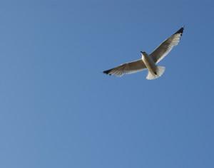 flygande mås